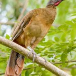 Tobago's national bird, the cocrico. Photo by Kevin Sammy