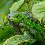 An iguana, Trinidad. Photo by Stephen Broadbridge