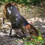 Agouti. Photo by Chris Anderson