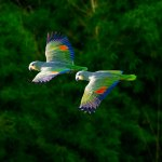 Green parrots in flight. Photo by Chris Anderson
