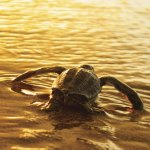 A leartherback turtle hatchling makes its way to the open sea at sunset. Photo by Giancarlo Lalsingh