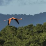 An American flamingo flies over Caroni Swamp. Photo by Rapso Imaging