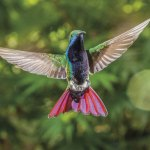 A Black-throated mango hummingbird at the Adventure Eco Villas in Tobago. Photo by Rapso Imaging