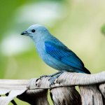 A Blue-grey tanager or blue jean at Newton George's Gallery, Tobago. Photo by Rapso Imaging