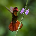 A ruby topaz hummingbird photographed in the Arima Valley. Photo by Wendell Stephen Jay Reyes