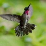 Long-billed starthroat hummingbird. Photo by Rapso Imaging