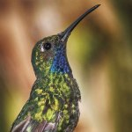 A White-tailed sabrewing hummingbird, once thought extinct in Tobago, at Newton George's Gallery, Speyside. Photo by Rapso Imaging