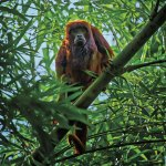 A howler monkey in Chaguaramas. Photo by Chris Anderson