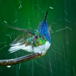 A White-necked jacobin shakes off the raindrops at Asa Wright Nature Centre. Photo by Chris Anderson