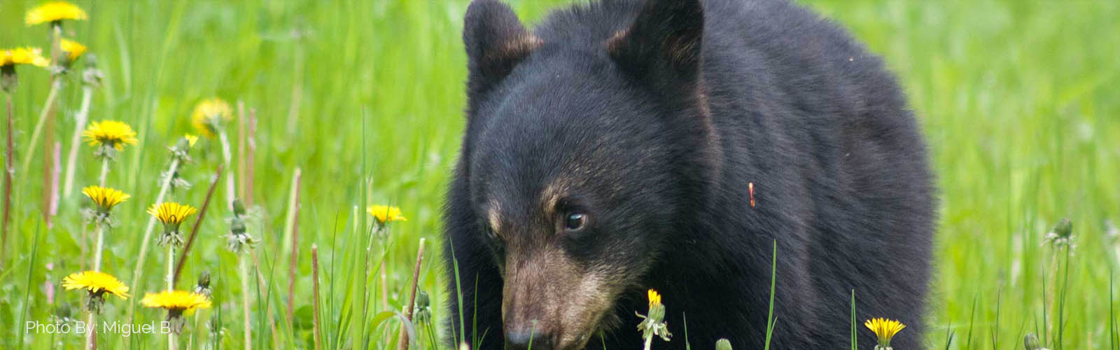 black bears discover vancouver