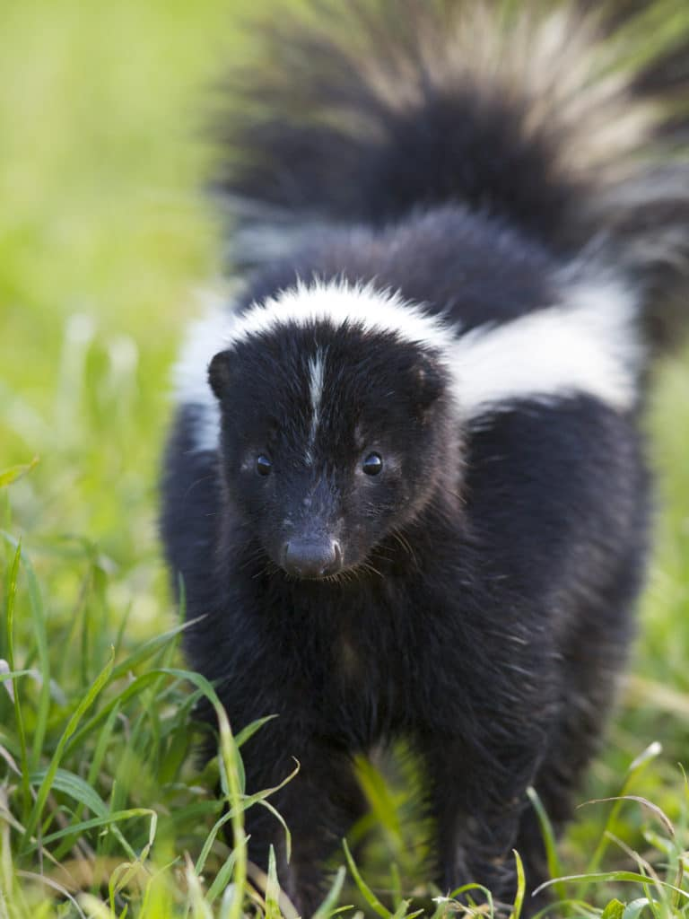 That Skunk Doesnt WANT to Spray You or Your Dog  WildCare