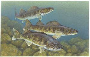 300px-Walleye_painting