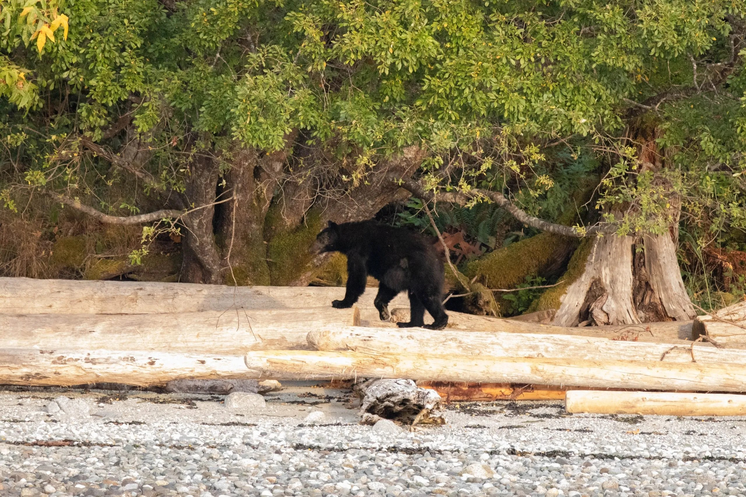 Eco Tours, Bear Tours, Whale Watching, Whale Watching Campbell River, BC, Brown's Bay Resort