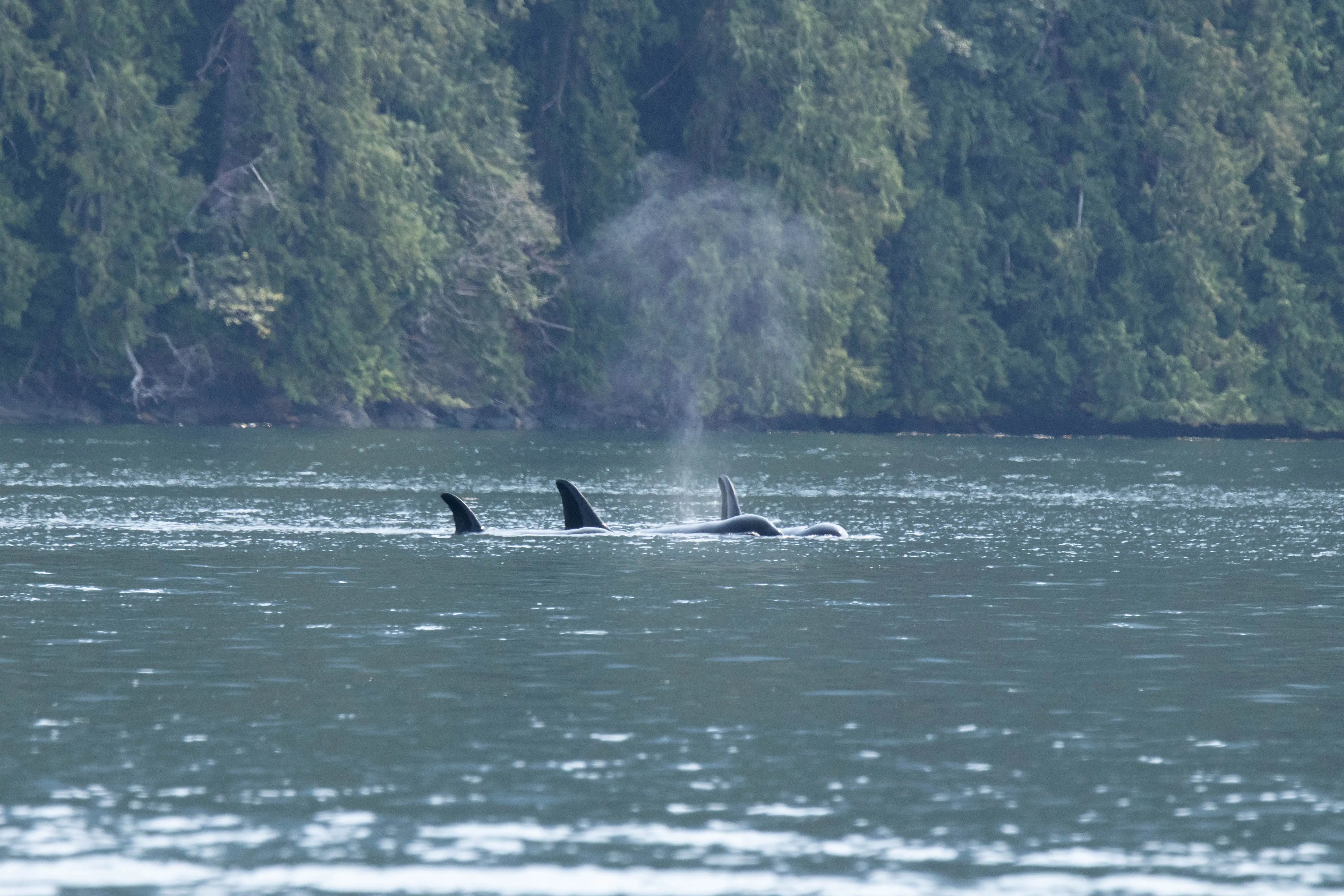 Orca Family, Discovery West Adventures, Whale Watching, Whale Watching Campbell River, BC, Brown's Bay Resort