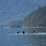 Discovery West Adventures, Whale Watching Campbell River, BC, Brown's Bay Resort, orcas, killer whales