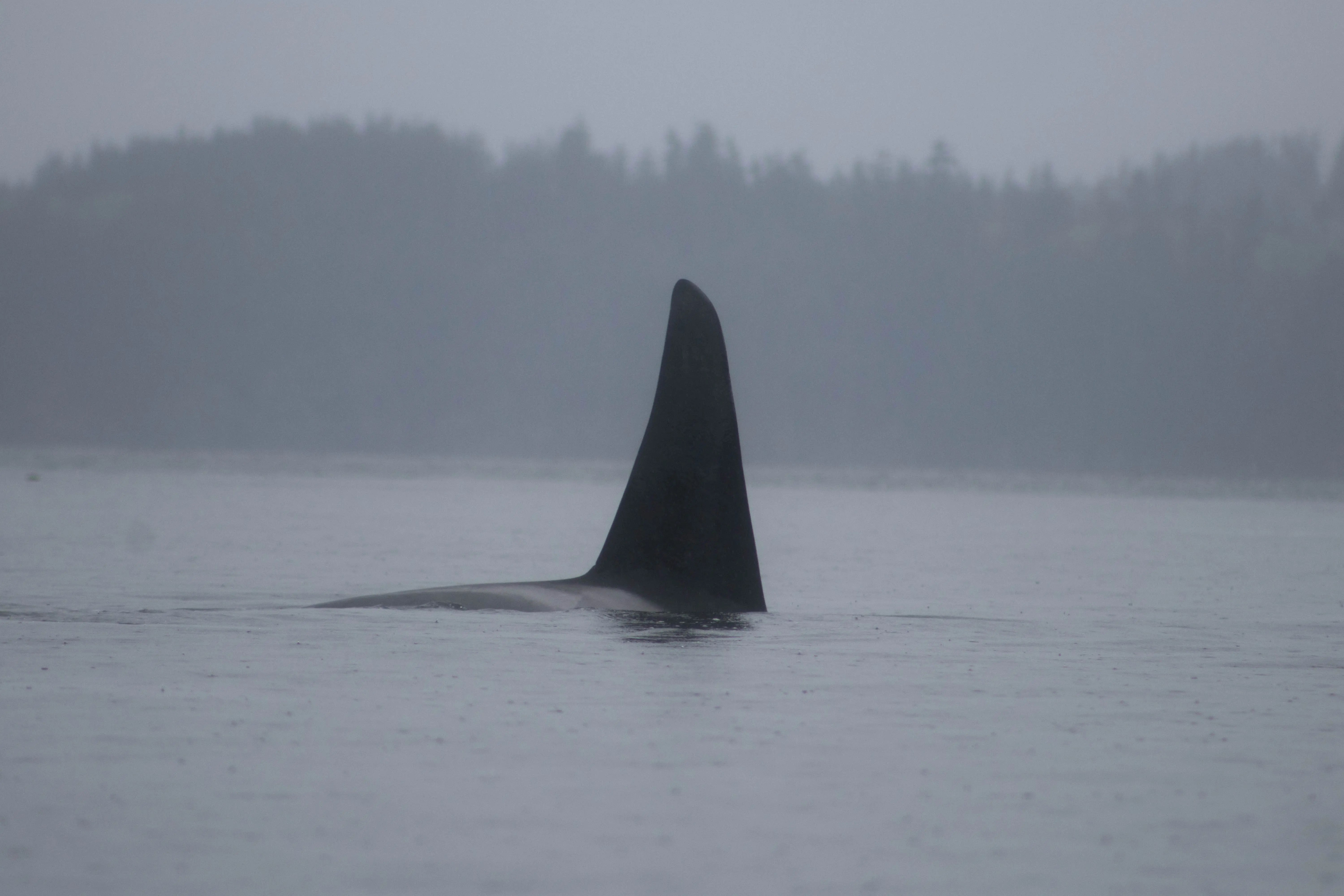 Transient Orcas, Whale Watching, Discovery West Adventures, Whale Watching Campbell River, BC, Brown's Bay Resort