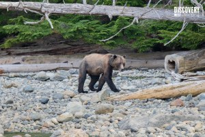 Grizzly Bear on a beach in Campbell River, British Columbia