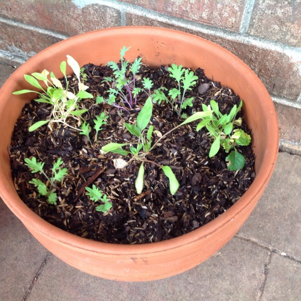 Salad garden in container
