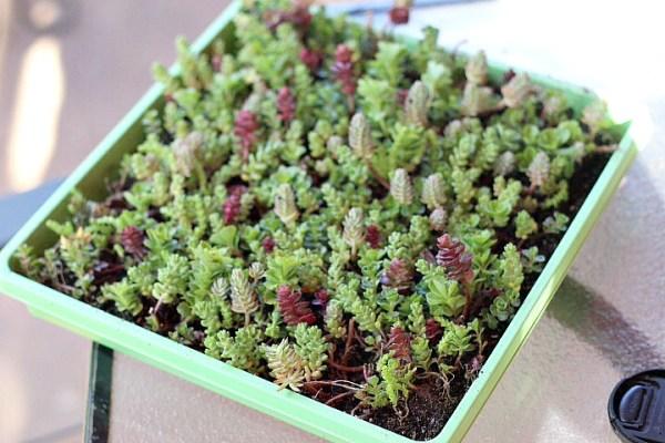 mini succulents fairy garden