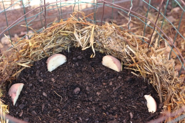 plant seed potatoes in towers