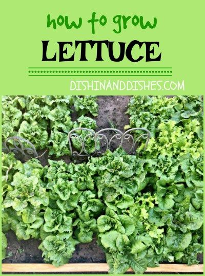 How to Grow Lettuce - Dishin & Dishes