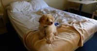 How To Stop A Dog Peeing On Bed While Sleeping - Disk ...