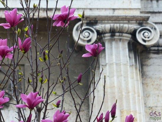 magnolia viola in piazza san nicolò a verona