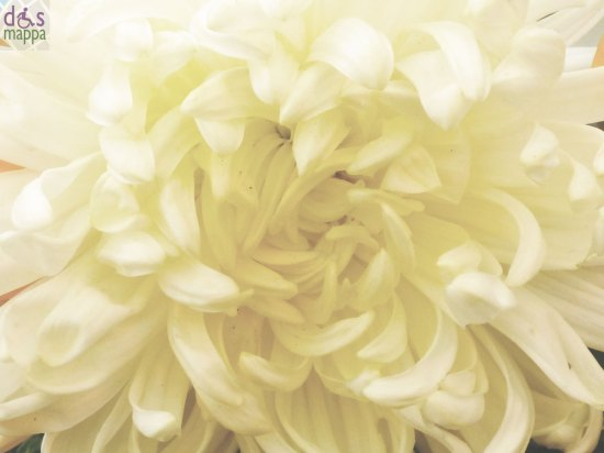 20131101-crisantemo-macro-closeup-ognissanti-verona