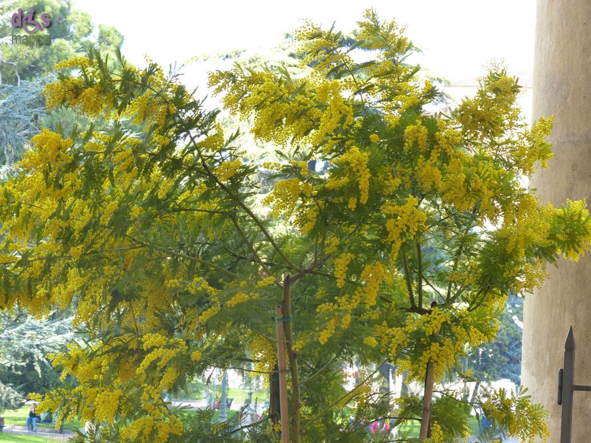 20140227 Mimosa 8 marzo Comune di Verona