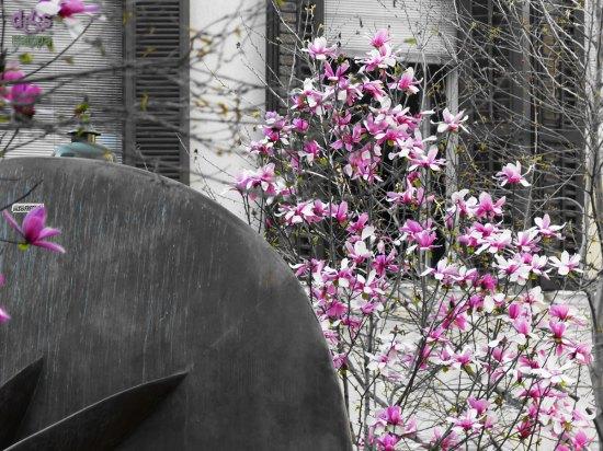 20140314 Magnolia viola Piazza San Nicolo Verona
