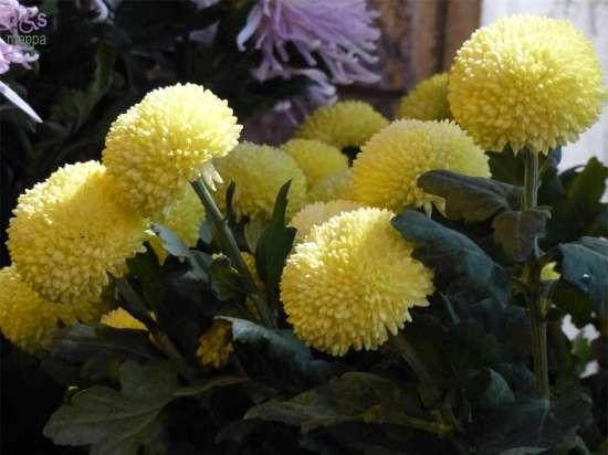 Oltre 6 milioni di crisantemi sono stati venduti in Italia per le festività di Ognissanti