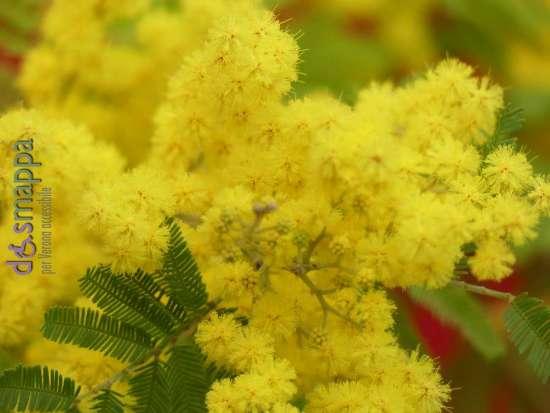 20170226 mimosa fiore giornata donna 8 marzo dismappa 799
