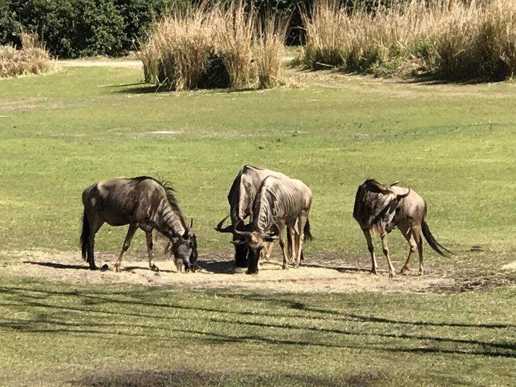 Wild Africa Trek Disney's Animal Kingdom Walt Disney World -