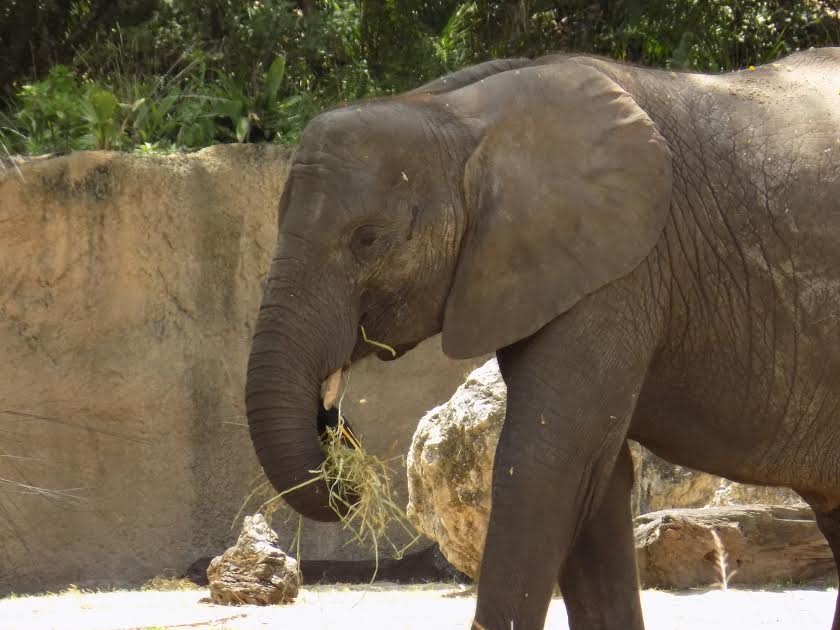 Caring for Giants: Behind the Scenes at Animal Kingdom