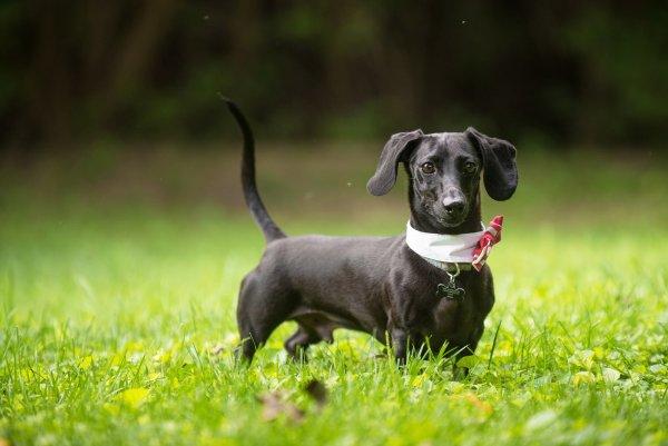 nikon-d810-walter-dachshund