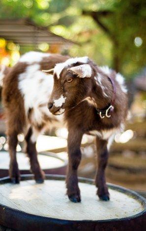 bernard-kronk-disneyland-baby-goat