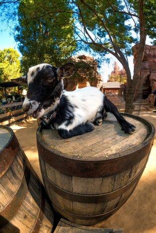 bianca-disneyland-goat
