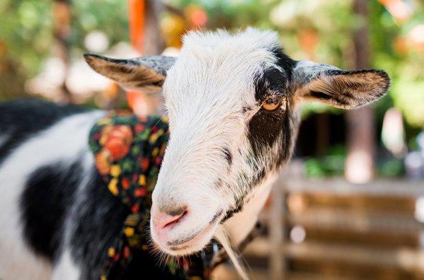 disneyland-halloween-goat-2