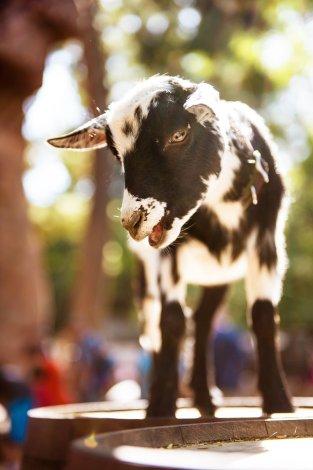 goat-bianca-disneyland-shallow-dof