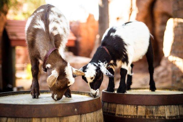 goats-babies-disneyland