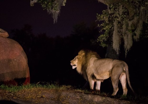 night-animal-kingdom-walt-disney-world-018