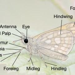 Butterfly Anatomy Diagram Delco Am Radio Wiring Dispar Highslide Js