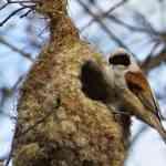 Pájaro Moscón Europeo