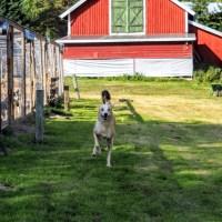 Svedjekojan Husky Farm: Huskytochten in Zweeds Lapland!