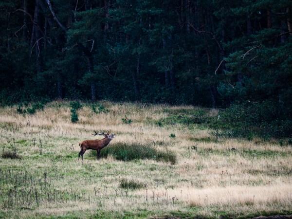 Herten bronst natuurexcursies