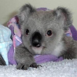 koala blanket