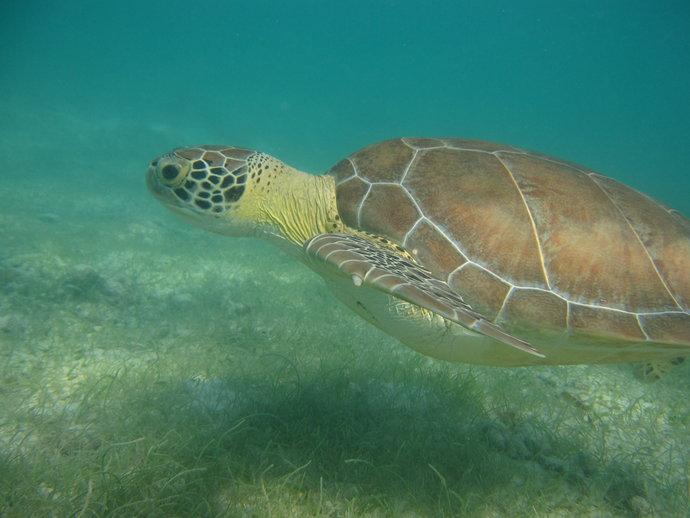 Tulum Turtle L