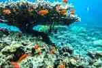 Fire Coral in Red sea Aqaba