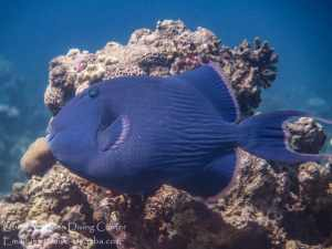 a blue trigger fish swimming