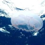29-moon-jellyfish-gr-website
